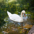 White Swan in the pond - Stock Photo