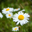 Stock Photo: Beautiful white camomiles in meadow