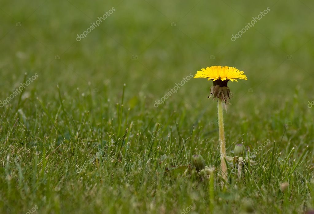 There is dandelion in grass background  Stock Photo #2915491