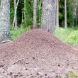 Huge anthill in forest — Stock Photo