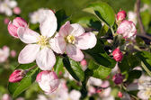 Bloomes of apple — Stock Photo