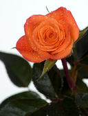 Orange rose with green leaves — Foto Stock