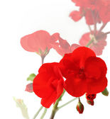 Flowers of red geraniums — Stock Photo