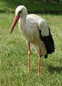 Stork on the lawn — Stock Photo