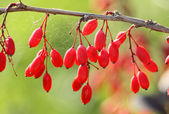 Twig and berries of barberry — Stock Photo