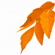 Autumn leaf — Stock Photo