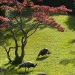 Peacocks in park — Stock Photo