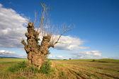 Tree in a field — Stock Photo
