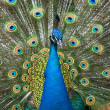 Colors of the peacock — Stock Photo