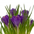 Violet crocuses on on white background — Stock Photo