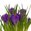 Violet crocuses on on white background — Stock Photo #3210483