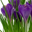 Violet crocuses on on white background — Stock Photo #3210508