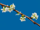 Blooming cherry — Stock Photo