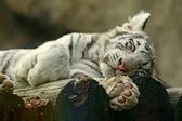 Sliping albino tiger cub — Stock Photo