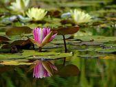 Lilys in botanical garden — Stock Photo