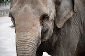 Elephant closeup — Stock Photo