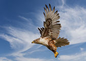 Ferruginous Hawk — Stock Photo