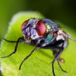 Fly macro — Stock Photo