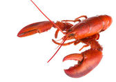 Lobster on white — Stock Photo