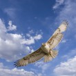 Hawk flight — Stock Photo #3090840