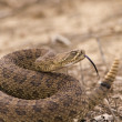Western rattlesnake strike ready — Stock Photo #3090858