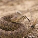 Western rattlesnake strike ready — Stock Photo #3090858