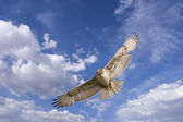 Hawk flight — Stock Photo
