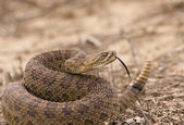 Western rattlesnake strike ready — Stock Photo
