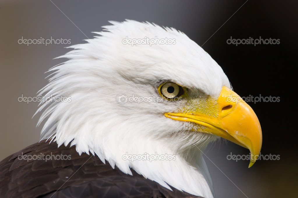 American eagle  close-up   — Stock Photo #3090829