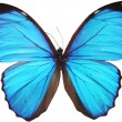 Stock Photo: Blue butterfly