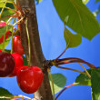 Cherries on a Cherry tree — Stock Photo