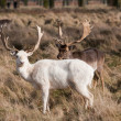 White Stag Deer — Stock Photo #2968600