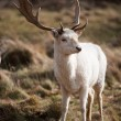 White Stag Deer — Stock Photo #2968611
