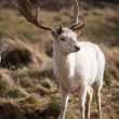White Stag Deer — Stock Photo