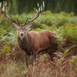 Majestic Stag Wild Red Deer — Stockfoto
