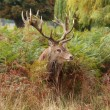 Majestic Stag Wild Red Deer — Stock Photo #2968763