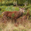 Majestic Stag Wild Red Deer — Stock Photo #2968787