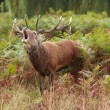 Majestic Stag braying Wild Red Deer - Stock Photo