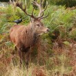 Majestic Stag Wild Red Deer - Stock Photo