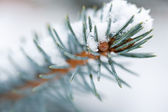 Fir Blue Spruce snow — Stock Photo