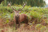 Majestic Stag Wild Red Deer — Stock Photo