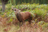 Majestic Stag braying Wild Red Deer — Stock Photo