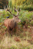 Veado selvagem majestoso red deer — Fotografia Stock