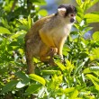 Squirrel monkey — Stock Photo #3091578