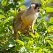 Foto de Stock  : Squirrel monkey