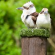Laughing Kookaburra — Stock Photo #3134487