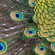 Peacock — Stock Photo #3134550