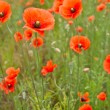 Beautiful poppies in a field - Stock Photo