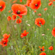 Beautiful poppies in field — Stock Photo #3172180