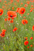 Beautiful poppies in a field — Stok fotoğraf